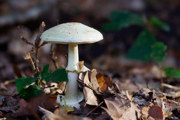 champignon blanc