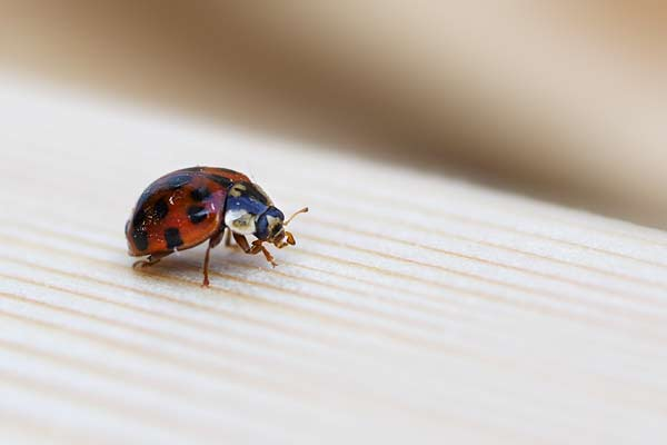_IGP4045_coccinelle