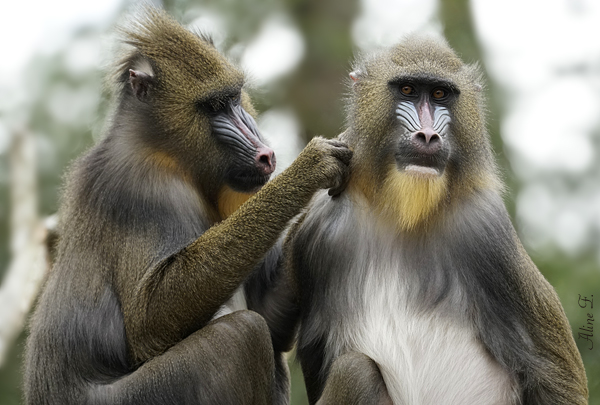 Couple de mandrill